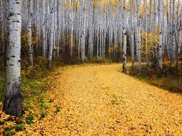 Colorado forest images Aspen forest colorado jpg