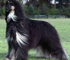 afghan hound coat colors afghan hound elegant and unique afghan hound pinterest