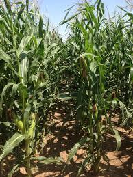 water use drought tolerant hybrids still key dryland crop