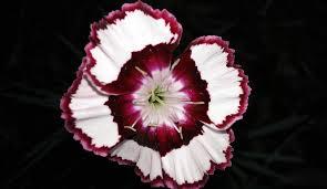 dianthus flower free photo dianthus flower siskin free image on