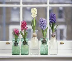 hyacinth flower how to grow hyacinth flowers indoors