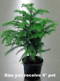 tabletop trees tips and advice in home grown at farmers
