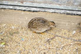 button quail edutation time genetic info backyard chickens