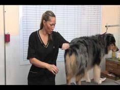 australian shepherd grooming needs hand scissor australian shepherd dog grooming pinterest