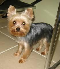 silky terrier hair cut image result for teddy bear cut yorkies precious furry friends