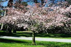 ornamental flowering cherry trees for pat organic