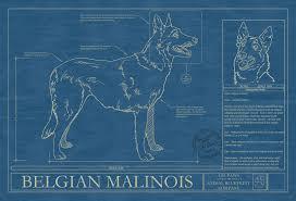 belgian sheepdog origin belgian malinois animal blueprint company