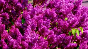 lilac color lilac color youtube