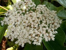 plants native to japan viburnum japonicum diy