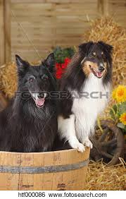 belgian sheepdog artwork stock images of sheltie shetland sheepdog and groenendael