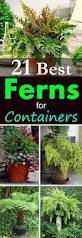 native plants for pots 21 best ferns for containers that you can grow indoors u0026 outdoors