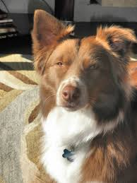 australian shepherd overweight blog news comfy at home reliable pet care services by cindy