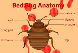 How To Identify Bed Bugs What Do Bed Bugs Look Like U0026 Bed Bug Bites Explained Thrillist