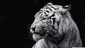 tiger black and white 4k hd desktop wallpaper for 4k ultra hd tv