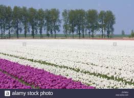 Netherlands Tulip Fields White And Purple Tulip Fields In The Netherlands Stock Photo