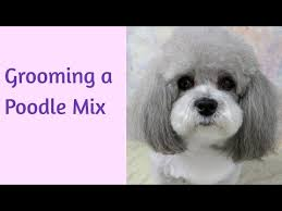 haircutsfordogs poodlemix grooming a poodle mix time lapsed dog grooming youtube