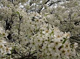 trees with white flowers file macro white flowering tree west virginia forestwander jpg