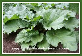 rhubarb plant care how to care for rhubarb composting