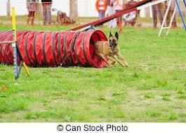 belgian sheepdog agility stock images of belgian shepherd malinois agility in testing