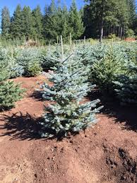 the same living christmas tree u2014 forever green christmas tree farm