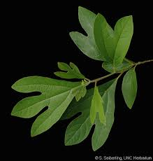 sassafras tree s leaves that smell like fruit loops when