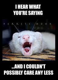 Ferret Meme - your everyday ferret ferrets dook home facebook