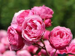 K He Rosa Kaufen Beetrose U0027pomponella U0027 Rosa U0027pomponella U0027 Adr Rose