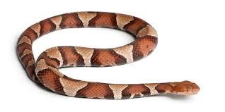 copperhead snake bites woman at va longhorn steakhouse