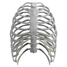 rib cage anatomy rib cage anatomy back human rib cage 3d model max