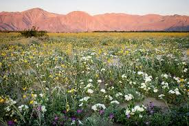 anza borrego desert flowers sunrise with a view of the desert carpeted in spring flowers