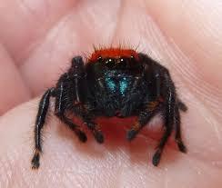 color changing jumping spider phidippus nikites album on imgur