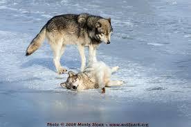 wolf photographs wolf kailani pushing tristan back