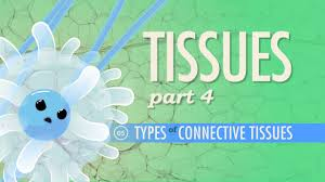 Anatomy And Physiology Cells And Tissues Tissues Part 4 Types Of Connective Tissues Crash Course A U0026p 5