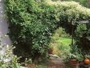 evergreen climbing vine