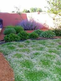 No Grass Backyard Ideas Red Creeping Thyme Grows 3 Inches Tall Max So Very Neat No