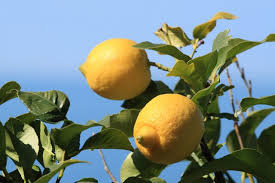 What Fruit Trees Grow In Texas - how to grow lemon trees in texas hunker