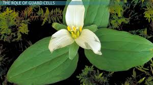 plant guard cells function u0026 definition video u0026 lesson
