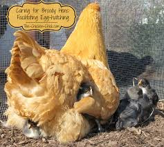 the chicken caring for broody hens facilitating egg hatching