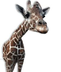 giraffes transparent png images stickpng