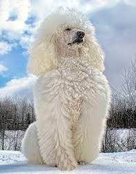 poodles long hair in winter proud new mother of precious little winter snowballs standard