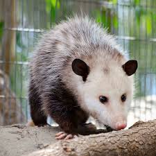 opossum removal and opossum control services