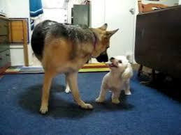 poodle vs bichon frise toy poodle vs german shepherd youtube
