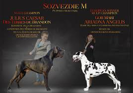 belgian shepherd for sale in pakistan la componella fci hodowla dog niemiecki xolo i owczarek belgijski