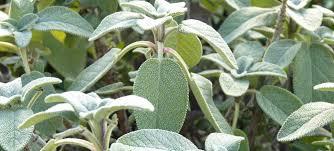 plante aromatique cuisine 10 plantes aromatiques à cultiver chez vous le monde des plantes
