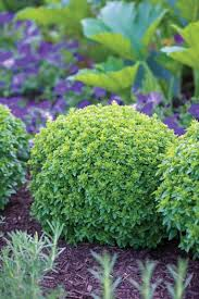70 best boxwood plant idea s images on boxwood plant