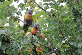 birds snacking on your fruit trees try this wellbeing com au