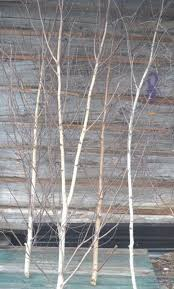birch trees 10 ft to 12 ft bundle of five spirit of the woods