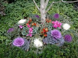 ornamental kale brassica oleracea steemit