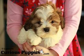 how to cut a shichon s hair common crosses of shih tzu puppies for sale puppies for sale
