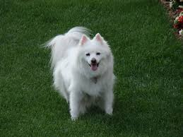 american eskimo dog male 30 most adorable american eskimo dog pictures and photos